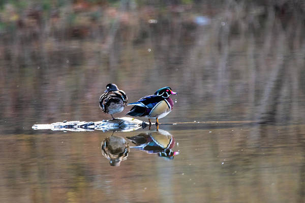 Photograph - Two Wood Ducks On Island Middle Of Water by Dan Friend