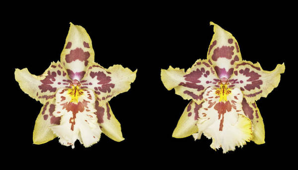 Cymbidium Photograph - Two Yellow And Purple Cymbidium Orchids by Michael Betts