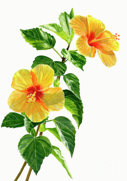 Wall Art - Painting - Two Yellow Hibiscus Flowers by Sharon Freeman