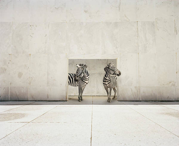 Out Of Context Photograph - Two Zebras At Doorway Of Large White by Matthias Clamer