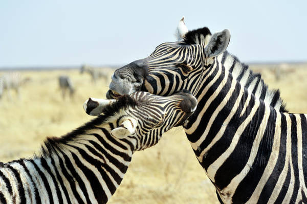 Urban Wildlife Photograph - Two Zebras Nuzzling, Etosha Park by Marco Brivio