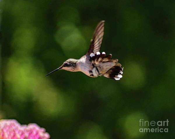 Wall Art - Photograph - Uderbelly Of A Ruby-throated Hummingbird by Cindy Treger