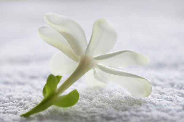 Fragility Photograph - Underside Of Tahitian Gardenia Flower by Nacivet