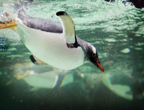 Underwater Photograph - Underwater Penguin by Werxj