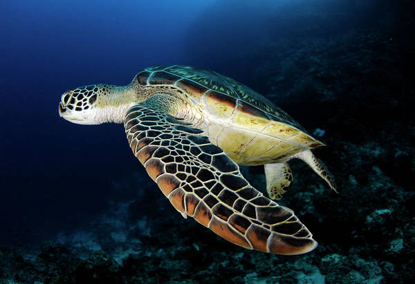 Underwater Diving Photograph - Underwater Turtle Swimming by Extreme-photographer