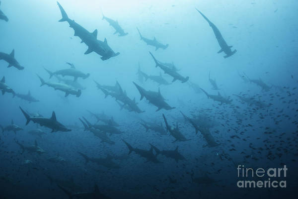 Wall Art - Photograph - Underwater View Of Scalloped Hammerhead by Wildestanimal