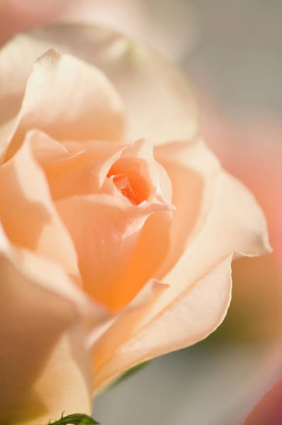 Rockville Photograph - Unfolding Light Peach Rose Flower by Maria Mosolova