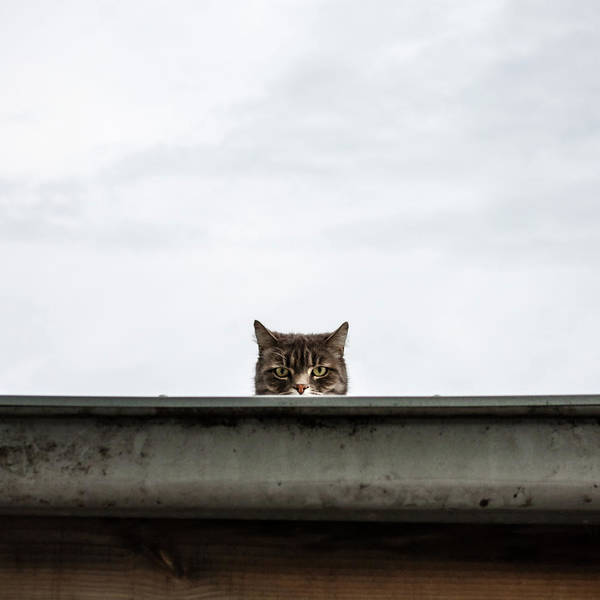 Staring Photograph - Unhappy Alley Cat Staring Back by John Abbate