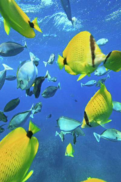 Underwater Photograph - Unicorn Fish by Chris Stankis
