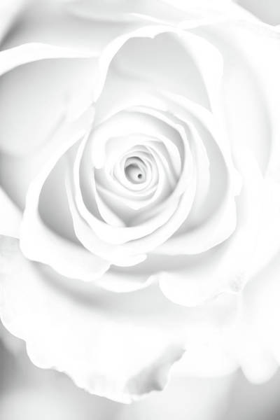 White Rose Photograph - Untainted by Az Jackson