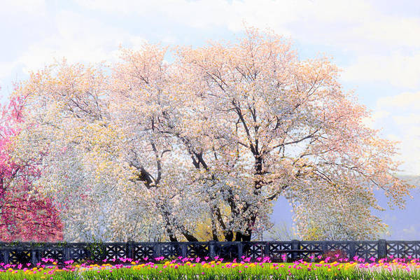 Wall Art - Photograph - Untermyer Cherry Trees by Jessica Jenney