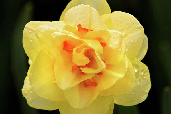 Photograph - Unusual Daffodil by Don Johnson