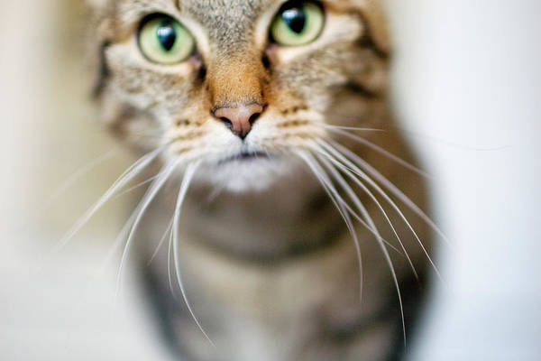 Staring Photograph - Up Close Brown Striped Cat by Charity Burggraaf