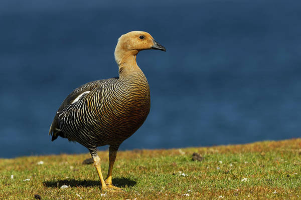 Wall Art - Photograph - Upland Goose Or Magellan Goose by Adam Jones