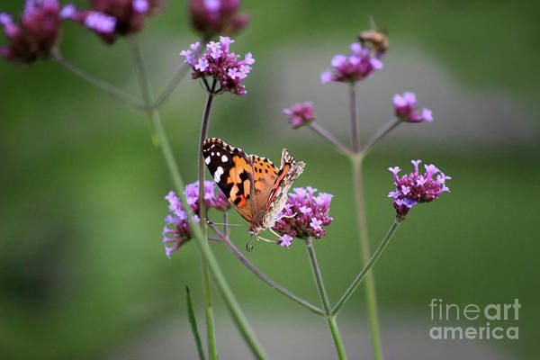 Photograph - Upside Down Painted Lady Butterfly 2018 by Karen Adams