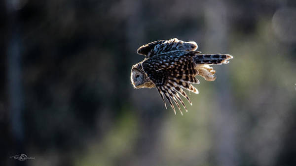 Wing Back Photograph - Ural Owl Flying Against The Light To Catch A Prey  by Torbjorn Swenelius