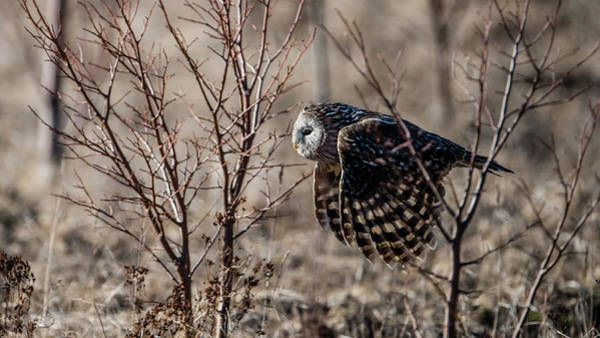 Photograph - Ural Owl Flying Between The Bushes by Torbjorn Swenelius
