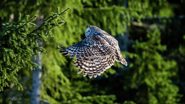 Photograph - Ural Owl Flying In The Fir Forest With Sunshine On Its Back by Torbjorn Swenelius