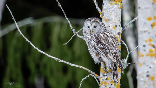 Ural Owl Perching On An Aspen Twig Art Print