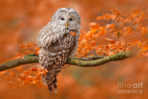 Wall Art - Photograph - Ural Owl, Strix Uralensis, Sitting On by Ondrej Prosicky