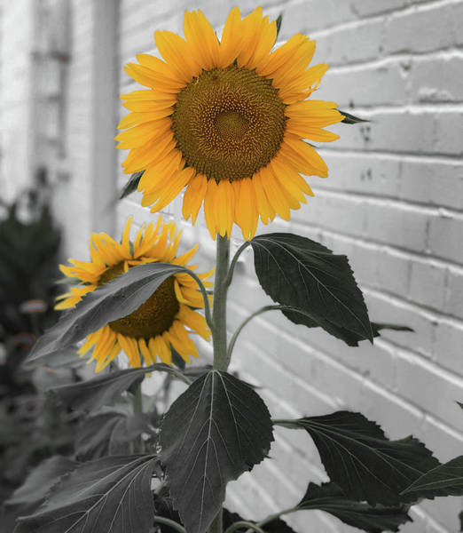 Photograph - Urban Sunflower - Black And White by Lora J Wilson