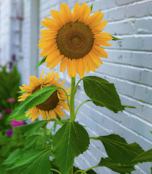 Photograph - Urban Sunflower by Lora J Wilson