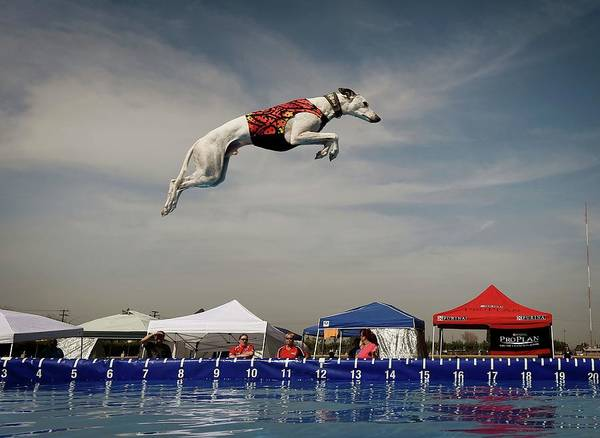 Whippet Wall Art - Photograph - Us-animals-record-jump by Mark Ralston