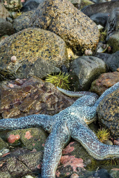 Wall Art - Photograph - Usa, Alaska A Blue Toned Sea Star by Margaret Gaines