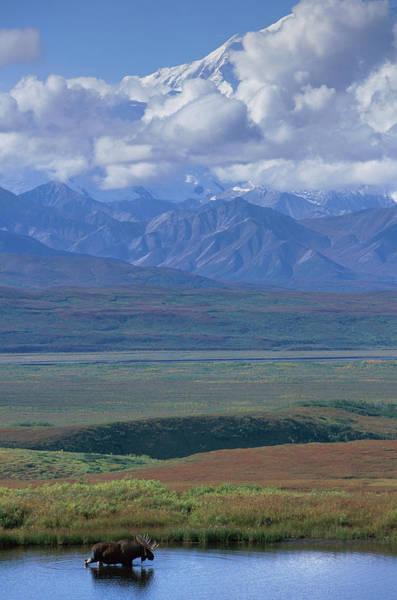 Alaska Photograph - Usa, Alaska, Bull Moose Alces Alces by Paul Souders
