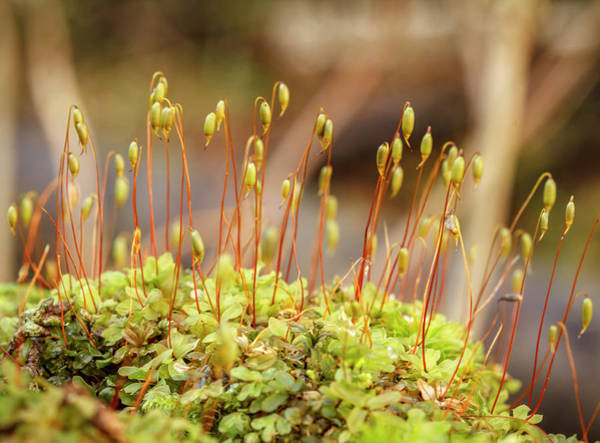 Wall Art - Photograph - Usa, Alaska Fan Moss With Sporophytes by Margaret Gaines