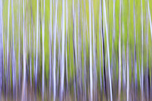 Wall Art - Photograph - Usa, Alaska Long Exposure Blur Of Birch by Margaret Gaines