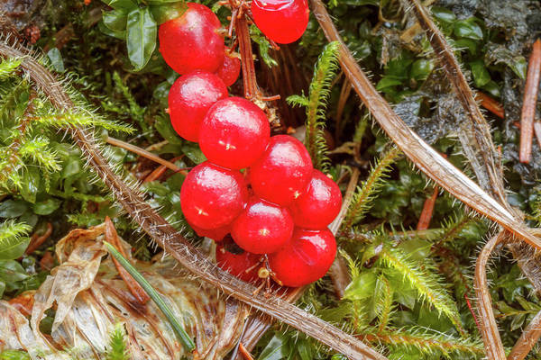 Wall Art - Photograph - Usa, Alaska Red Berries Against Moss by Margaret Gaines