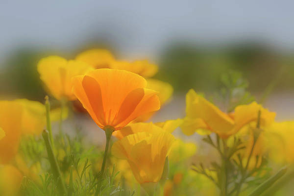 Wall Art - Photograph - Usa, Arizona Mexican Gold Poppy Close-up by Jaynes Gallery