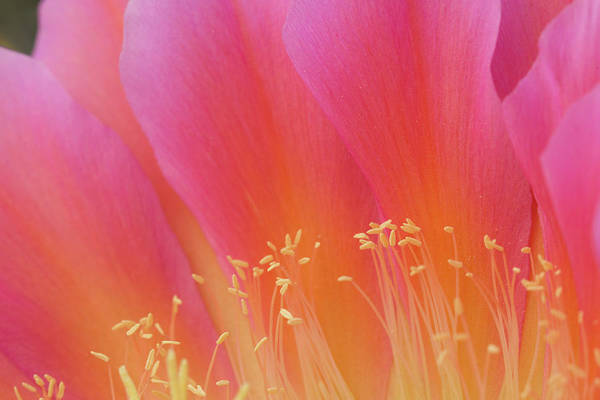 Wall Art - Photograph - Usa, Arizona Torch Cactus Bloom Close-up by Jaynes Gallery