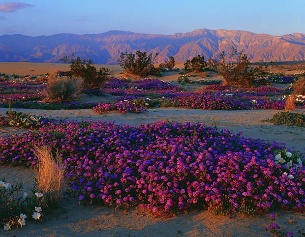 Birdcage Photograph - Usa, California, Anza Borrego Desert by Ron And Patty Thomas