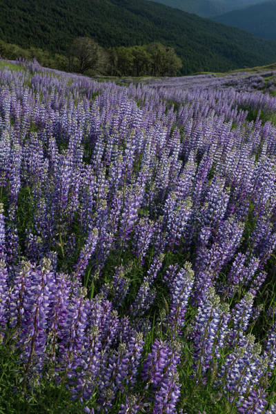 Wall Art - Photograph - Usa, California Lupine Blooming by Judith Zimmerman