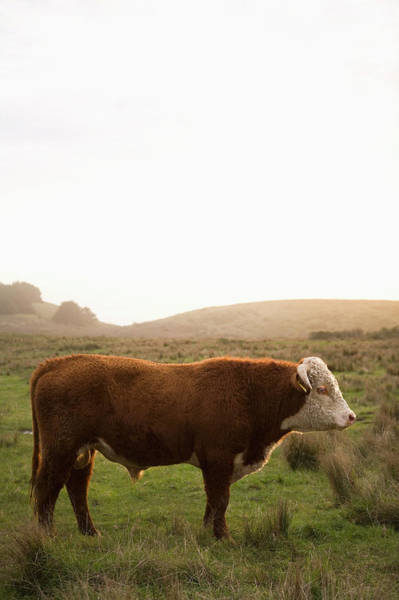 Domestic Cattle Photograph - Usa, California, Napa, Cow In Field by Ray Kachatorian