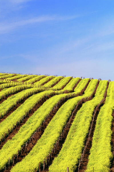 Napa Valley Photograph - Usa, California, Napa Valley, Mustard by Medioimages/photodisc