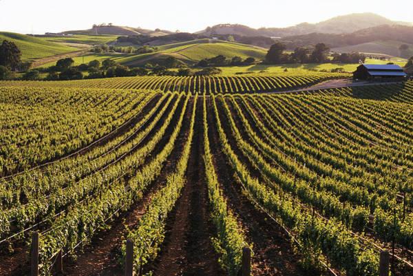 Napa Valley Photograph - Usa, California, Napa Valley, Vineyard by Cosmo Condina