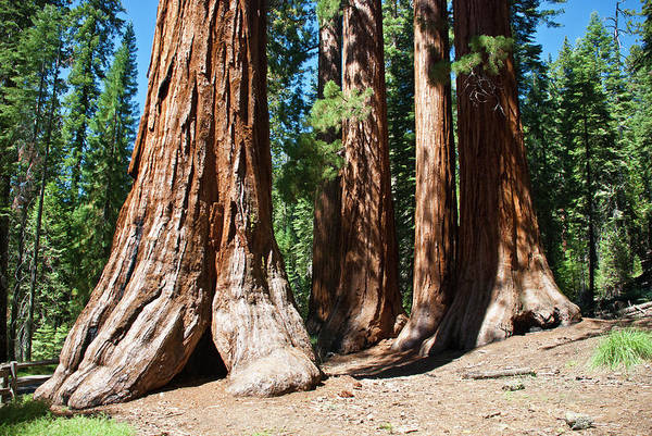 Sequoia Grove Photograph - Usa, California, Yosemite National by Claire Cordier