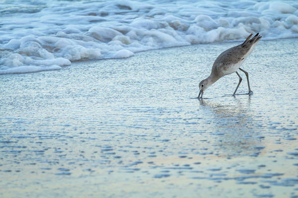 Usa, Florida A Willet Digs In The Sand Art Print by Margaret Gaines