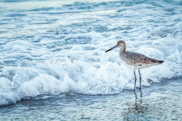 Wall Art - Photograph - Usa, Florida A Willet, Tringa by Margaret Gaines