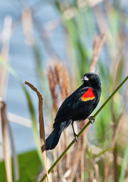 Red-winged Blackbird Wall Art - Photograph - Usa, Florida, Clewiston, Sta 5 by Bernard Friel