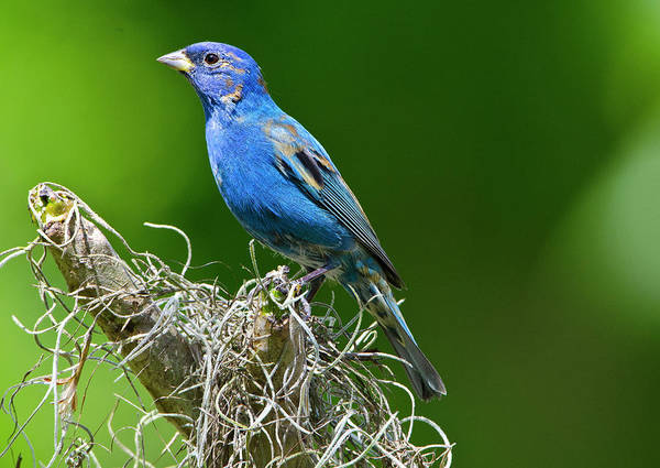 Wall Art - Photograph - Usa, Florida, Immokalee, Indigo Bunting by Bernard Friel