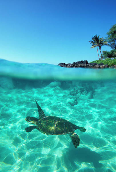 Underwater Scene Photograph - Usa, Hawaii, Maui, Sea Turtle In by David Olsen
