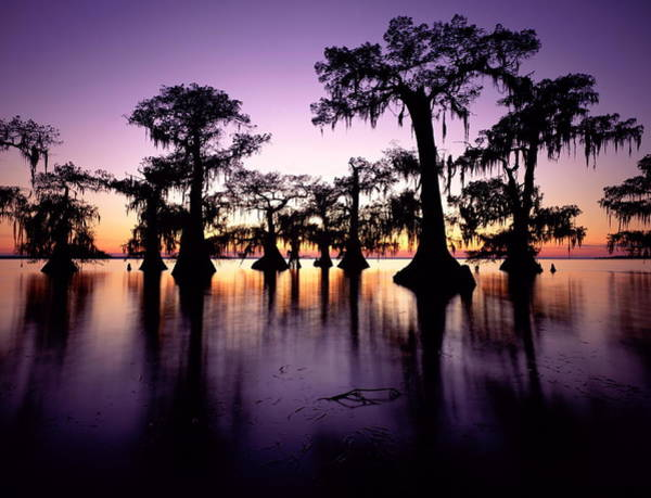 Louisiana Photograph - Usa, Louisiana, Swamp Cypress Trees by David Muench
