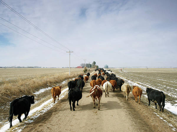 Domestic Cattle Photograph - Usa, Nebraska, Great Plains, Herd Of by John Kelly