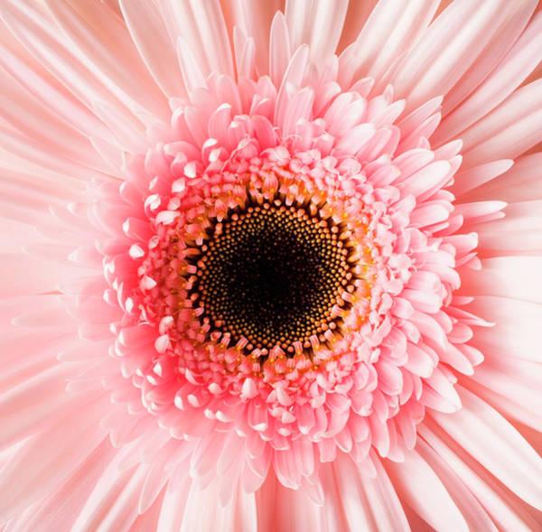 Daisy Photograph - Usa, Utah, Lehi, Close-up Of Pink Daisy by Mike Kemp