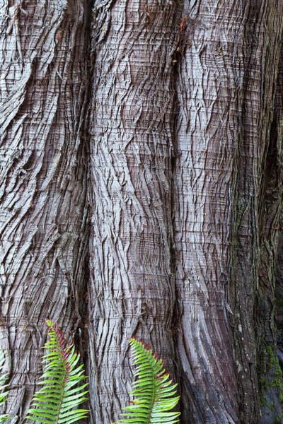 Coniferous Tree Photograph - Usa, Washington State, Western Red by Don Paulson Photography