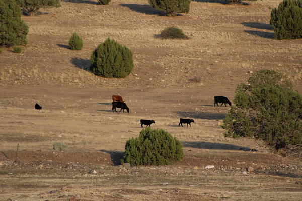 Photograph - Utah Cows And Trees by Colleen Cornelius